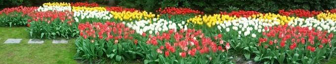 Tulips at Keukenof Gardens in Amsterdam