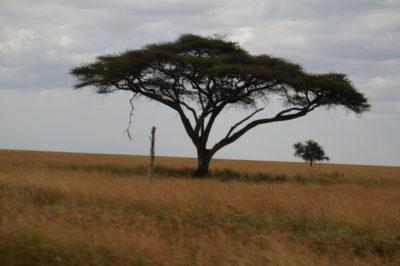 Acacia on the Serengeti Tanzania 2018