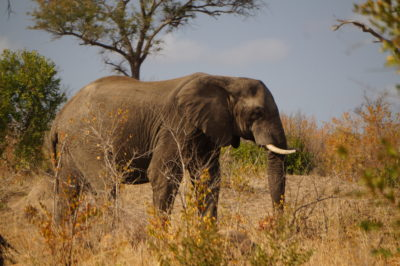 African Elephant photo South Africa 2015