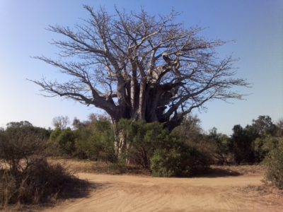 Baobab Tree in South Africa